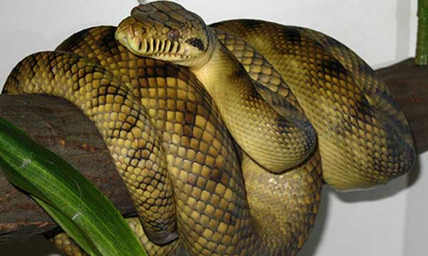 Top 10 Largest Snakes In The World