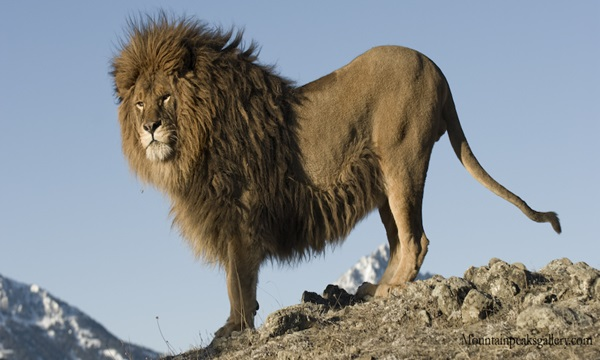 Barbary Lion Is one of the bizarre extinct animals