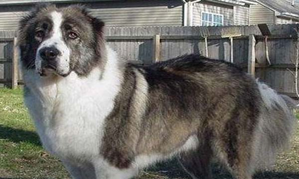 Top 10 Dangerous Dog Breeds In The world