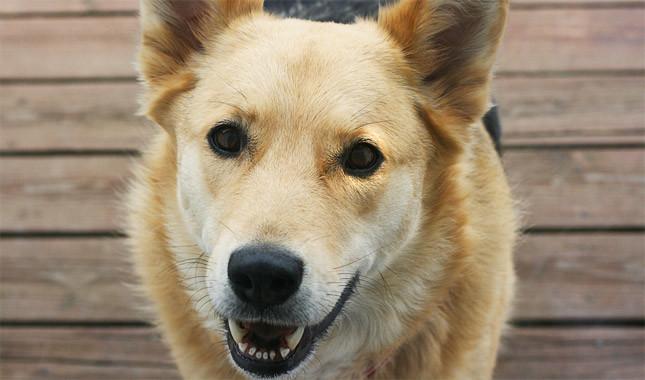 Chinook Greatest 10 Advanced Dog Breeds