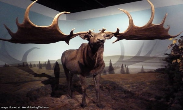 Irish Elk Is one of the largest extinct animals