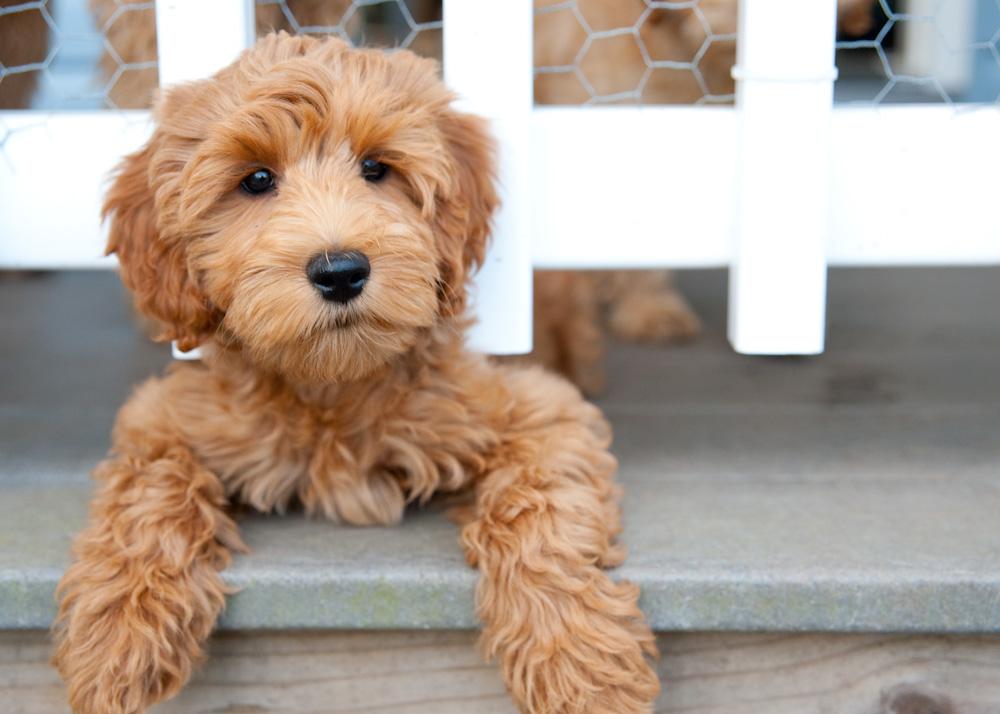 Labradoodle Splendid 10 Advanced Dog Breeds