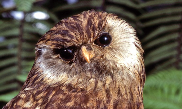 Laughing Owl Is among weird extinct animals