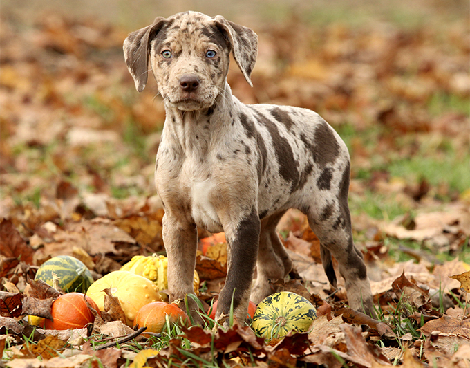 Louisiana Catahoula Leopard Dog Top notch 10 Advanced Dog Breeds