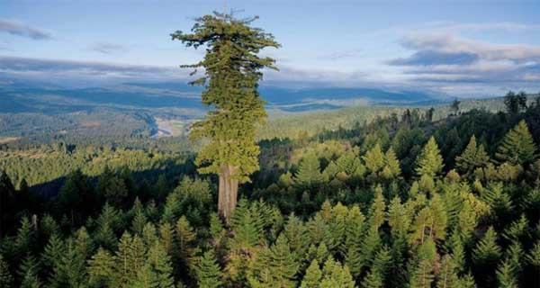 Top 10 Tallest Trees In The World - Longest Trees