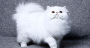 Top 10 Expensive Cat Breeds In The World