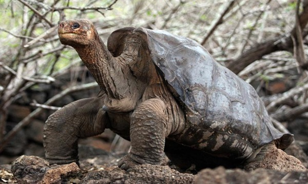 Pinta Island Tortoise Is among recently extinct animals