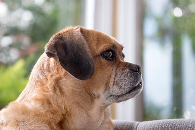 Puggles Awesome10 Advanced Dog Breeds