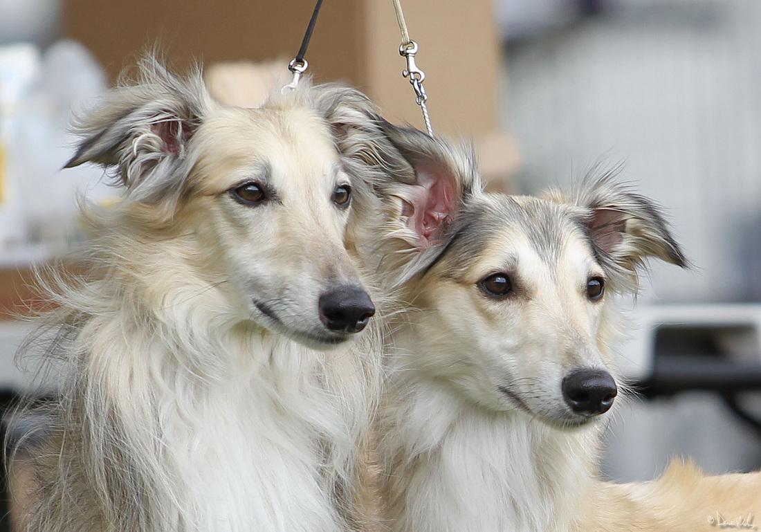 Silken Wind hound Amazing 10 Advanced Dog Breeds