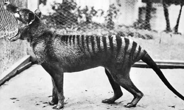 Tasmanian Tiger Is among beautiful extinct animals