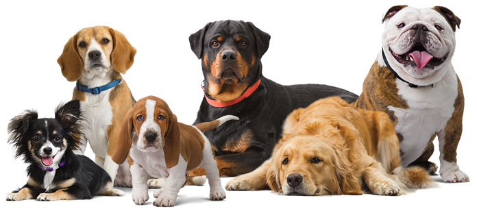 Top 10 Advanced Dog Breeds 2017 heading